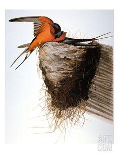 Audubon: Swallow Print by John James Audubon at Art.com