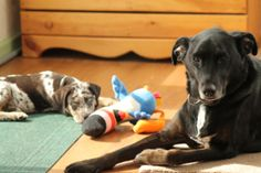 The rescue boys, Jack the lab mix, who is no longer with us, and Riley the Catahoula Leopard Dog puppy