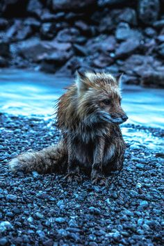 Red Fox by steveoscaro - Steven Olson Beautiful Creatures, Animals Beautiful, Cute Animals, Cute Fox, Wild Nature, Red Fox, Nature Animals, Illustrations, Spirit Animal