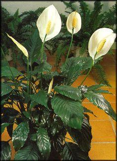 l 39 entretien d 39 une plante verte d 39 int rieur n 39 aura plus de secret pour vous d couvrez comment s. Black Bedroom Furniture Sets. Home Design Ideas