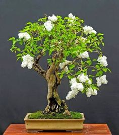 156 best bonsai images on pinterest bonsai bonsai trees and white lilac bonsai dont know that i would ever have the patience time to care for them but love bonsai mightylinksfo