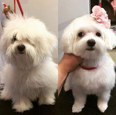 Maltese Haircut Short, Puppy Haircut, Poodle Haircut, Maltipoo Dog, Yorkie Puppy, Havanese, Dog Grooming Styles, Puppy Grooming, Maltese Poodle