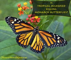 Is tropical milkweed REALLY hurting monarch butterflies, or could it be utilized as a valuable garden tool in the efforts to restore the struggling monarch population?