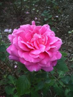 The Marchessa Boccella Rose, which is also known as the Jacques Cartier Rose.