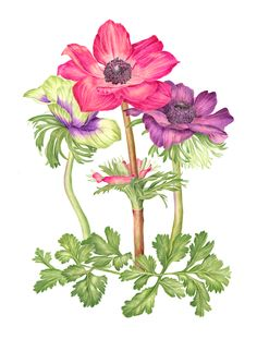 Anemones  Sally Jacobs   WATERCOLOR