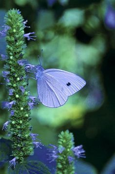 White Cabbage Butterfly Print By Jlambe Photography