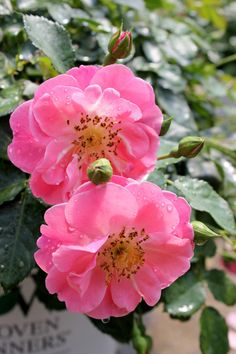 Oso Easy 'Pink Cupcake', landscape rose.