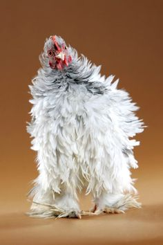 If I were a chicken...this would be my self-portrait!!