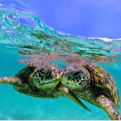 Family-Friendly Sea Activities in Maui, Hawai'i Ocean Turtle, Turtle Love, Baby Sea Turtles, Cute Turtles, Animals Beautiful, Beautiful Creatures, Cute Animals, Sea Turtle Pictures, Sea Turtle Jewelry