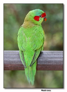 Musk Lory by Robert Cockatiel, Budgies, Love Birds, Beautiful Birds, Funny Parrots, Cute Monkey, Australian Birds, Exotic Birds, Some Pictures