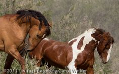 Two wild horse stallions duke it out in Sand Wash Basin in NW Colorado