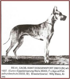 RS 41 Kant Doggensport. (light brindle) Born July 31, 1937. Breeder/Owner: Willy Blass, Alzey. Bred to Susi Kadow and from this breeding descended Ch Douglass vd Irminsul, CH Valeska v Schloss Dellwig, Ch Atilla vd Stadt Hamburg, and CH Artus v Kochertal. Kant Doggensport produced importantly in Germany, for the v Schilfkolben, Schloss Dellwig, Klingenpfad and other Dane kennels; and produced many, many other champions and progenitors of the 'German type' around the world.