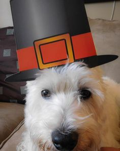 We hope all my American pals had a wonderful #thanksgiving!  #westie #westhighlandterrier #dog