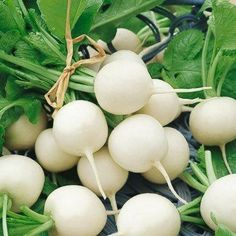 Radish - White Hailstone 25 days. 1 ½ inch globe with pure-white skin and firm flesh that stays crisp for a long time.