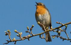 Robin Red Breast.  We all recognise him by sight but do we know his song?  Follow the link!