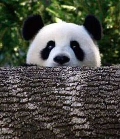 panda love, why hello there! These pandas are so adorable one… Nature Animals, Animals And Pets, Baby Animals, Funny Animals, Cute Animals, Wild Animals, Cute Creatures, Beautiful Creatures, Animals Beautiful