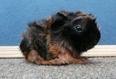 guinea pigs - Click image to find more Animals Pinterest pins