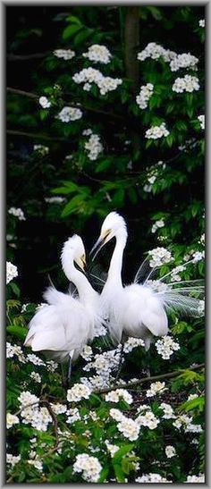 a pair of breeding EGRETS   #egret bird white #by junpin on 500px.com