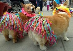 WHY ARE CORGIS THE BEST?