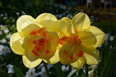 Narsissikamut | Vesan viherpiperryskuvat – puutarha kukkii