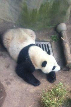 panda staying cool