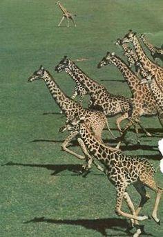 Giraffes!  #safari #africa