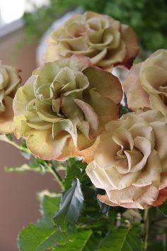 rose Gypsy Curiosa in full bloom