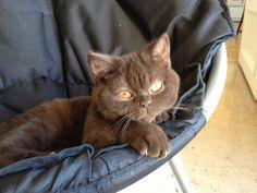 ©Hermione British Shorthair, chocolate british shorthair kitten