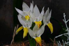 Pecteilis sagarikii   Flickr - Photo Sharing!