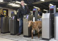 Barney the goat walking through Ticket barrier