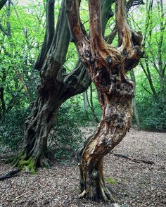 Walked past this in the forest is it me or do these two trees look like they are dancing together   #bushcraft #outdoors #photooftheday #survival #woods #woodland #forest #wilderness #nature #handmade #edc #camping #hiking #backpacking #life #yolo #instagram #wild #wildcraft #wildcamp #crafts #woodwork #sloyd #kuksa #spoon #spooncarving #carving #knives by zedoutdoors