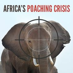 Learn the facts about poaching animals in Africa and how we can help.  http://www.kilicoffeeroasters.com/