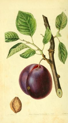 Mimm's Plum, The Pomological magazine, 1827, Biodiversity Heritage Library