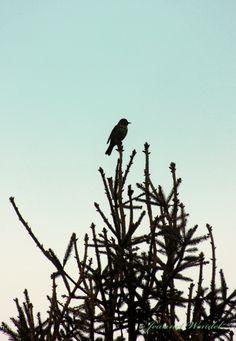 Dit vogeltje zingt letterlijk en figuurlijk het hoogste lied! Voorjaar
