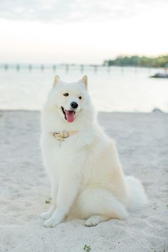 Looks like our Phoebe, we still miss her, I guess we always will. Saw a Samoyed on a run in our neighborhood, the girls were so excited