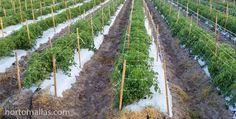 en tomates es preferible no manipular tanto la planta como se hace en el sistema de entutorado con rafia porque cada contacto mecánico con las manos del operador estresan la planta y aumentan el riesgo de infecciones. Vineyard, Green, Outdoor, Fitness, Diy, Grow Tomatoes, Harvest, Trellis, Mesh