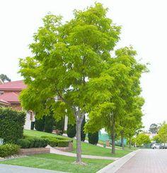 Robinia Pseudoacacia Frisia (Golden Robinia)