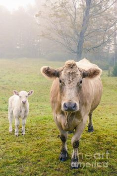 Baby cow with Momma by Edward M. Fielding - http://fineartamerica.com/featured/momma-and-baby-cow-edward-fielding.html