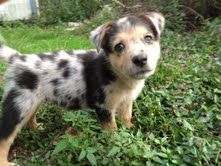 Kinsi is an adoptable Australian Shepherd Dog in Cincinnati, OH. One of6 adorable puppies born to our beautiful momma Annie. She and her puppies came to us when they were about 4 weeks old. Momma i...