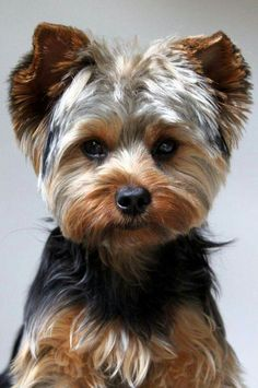 Yorkshire terrier owners often ask How often should you bathe a Yorkie. Read lots of tips about Yorkie bathing here. Lap Dogs, Dogs And Puppies, Yorkie Cuts, Yorkie Teddy Bear Cut, Teddy Bears, Yorkie Hairstyles, Hairstyles Haircuts, Yorshire Terrier, York Terrier