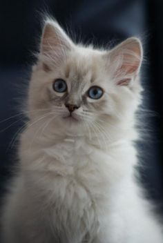 Blue lynx point Ragdoll Kitten | Cattery Don's Douchi | The Netherlands