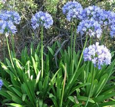 Midknight Blue Agapanthus Lily Of The Nile Agapanthus X Monmid Zones 6 10 If You Ve Grown