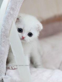 cute...Scottish Fold