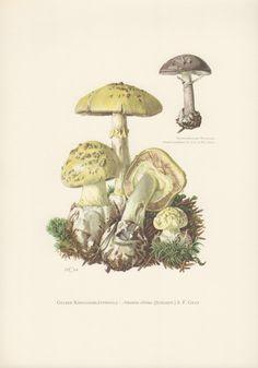 1964 Mushrooms Illustration Amanita citrina Fungi by Craftissimo