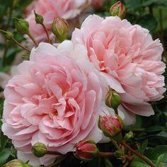 Wildeve - Standard Roses - Type