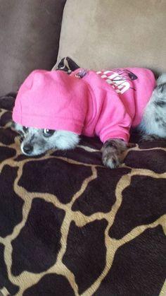 Blue Merle Pomeranian Dog Dogs Puppy Puppies