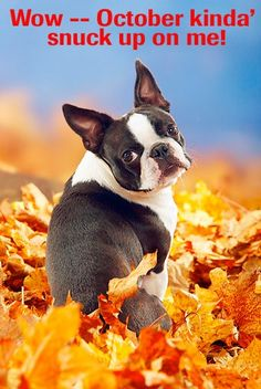 Boston Terrier - Wow, October snuck up.  Like Boston Terrier Dogs on Facebook : http://www.facebook.com/bterrierdogs