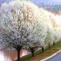 The Cleveland Pear (Pyrus calleryana) is a hardy ornamental tree with year-round appeal.  Because this tree is more tall than broad, it nestles neatly into a narrow spot between other plants or looks great in rows along a street or sidewalk.