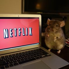 Netflix and chinchill ❤❤❤ Animals And Pets, Baby Animals, Funny Animals, Chinchilla Cute, Pocket Pet, Kawaii Wallpaper, Cute Little Animals, Pet Life, Cute Creatures
