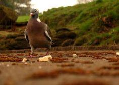 pigeon cautious